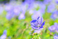 Geranium pratense Royalty Free Stock Images