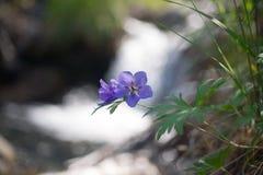 Geranium pratense Stock Afbeelding