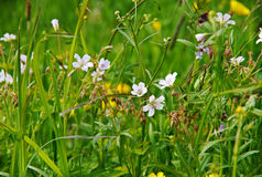 Geranium pratense stock foto's