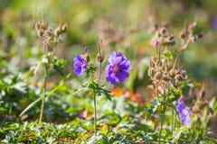 Geranium pratense bloemen royalty-vrije stock fotografie