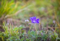 Geranium pratense bloemen royalty-vrije stock foto