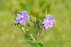 Geranium pratense flowers. In a meadow stock photo