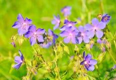 Geranium pratense flowers Stock Photography