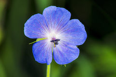 Geranium pratense,meadow cranesbill Stock Photography