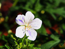 Geranium pratense `Splish-Splash` Royalty Free Stock Photography