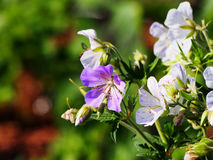 Geranium pratense `Splish-Splash` Stock Image