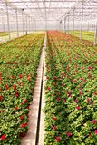 Geranium production. Huge greenhouse full of geranium plants Royalty Free Stock Photo