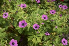 Geranium psilostemon bloeiwijze royalty-vrije stock foto