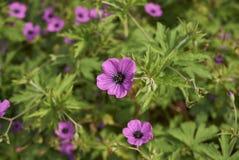 Geranium psilostemon bloeiwijze stock foto's