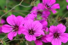 Geranium psilostemon are well suited as soil coverers. Geranium psilostemon flowers is from Armenia, Turkey stock photos