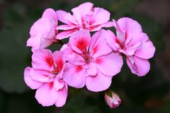 Pink geranium with dark red accents in the middle Stock Photos