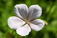 Geranium psilostemon- Kashmir White Stock Photography