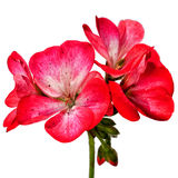 Geranium. Red geranium flowers isolated on white background royalty free stock photos