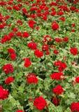 Geranium. Red garden geranium flowers in flower pots royalty free stock photo
