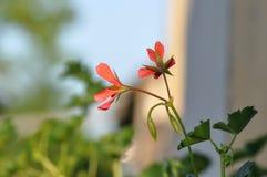 Geranium. Red garden geranium flowers , close up shot royalty free stock images
