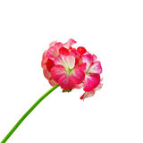 Geranium red and white Royalty Free Stock Photography