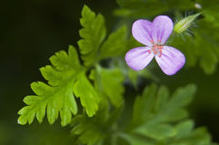 Geranium robertianum Stock Photos