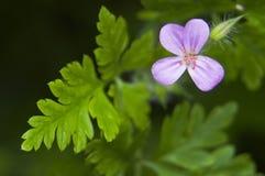 Geranium robertianum. Stinking little pink geranium flowers stock photos