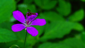 Geranium robertianum stock video footage
