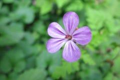Geranium Robertianum Stock Image