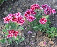 Geranium Royal. Some bushes of a geranium garden Royal Royalty Free Stock Image