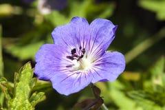 Geranium Rozanne `Gerwat` Stock Images
