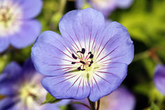 Geranium Rozanne 'Gerwat' Royalty Free Stock Photo