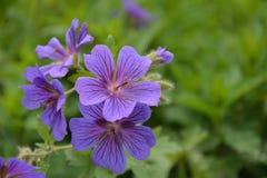 Geranium Rozanne of heel bij Stock Afbeeldingen