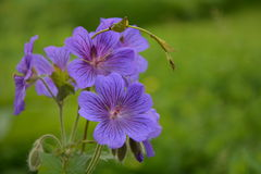Geranium Rozanne or jolly bee. Flowers Stock Photo