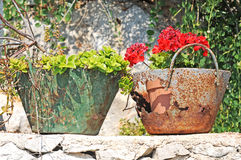 Geranium in rusty container Royalty Free Stock Image