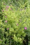 Geranium sanguineum (bloody crane's-bill or bloody geranium) Stock Images