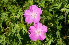 Geranium sanguineum in Ceske stredohori Royalty Free Stock Images