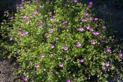 Geranium sanguineum in full bloom in May. Geranium sanguineum in full bloom in late May stock images