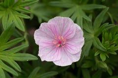 Geranium sanguineum var. striatum stock photo