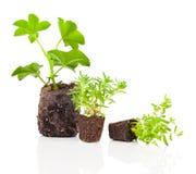 Geranium seedlings Stock Photography
