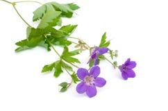 Geranium silvaticum Stock Images