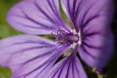 Geranium SP. bloemen Royalty-vrije Stock Afbeelding