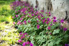 Geranium in a spring garden Stock Images