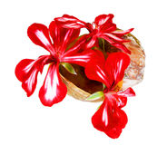 geranium striped flowers fresh bouquet in a shell, photo manipulation stock images