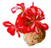 Geranium striped flowers fresh bouquet in a shell, photo manipulation. Oil draw illustration of red striped geranium flowers fresh bouquet in a shell, photo royalty free stock photo