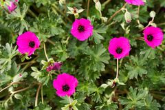 Geranium subcaulescens Royalty Free Stock Photos