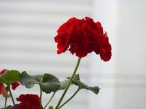 Geranium, summer flower on white background stock photos