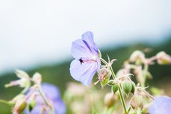 Geranium. On a sunny meadow royalty free stock images