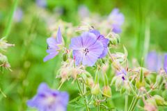 Geranium. On a sunny meadow royalty free stock photo