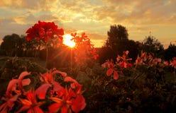 Geranium at sunset Royalty Free Stock Photography