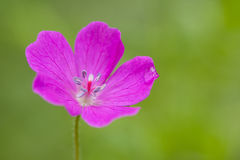 Geranium sylvaticum Royalty Free Stock Photography