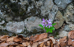 Geranium sylvaticum Royalty Free Stock Images