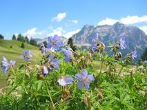 Geranium sylvaticum or wood cranesbill or woodland geranium. The Fanes Dolomites in the background. Summer time stock images