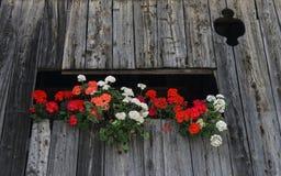 Geranium in trentino Stock Foto