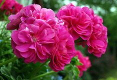 Geranium. Two pink geranium blossoms growing in a hanging basket, set against green shrubbery stock photography